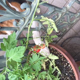 トマト泥棒